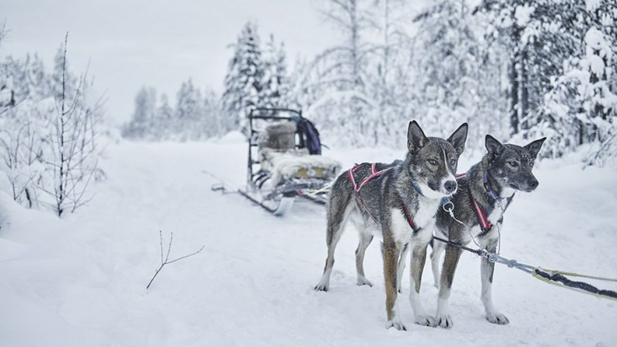 dog sledding scandinavia sweden