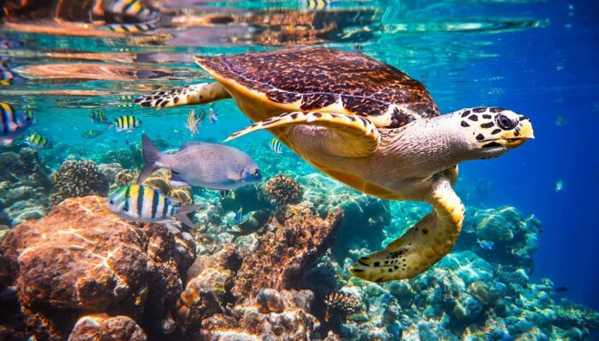 sea turtle maldives snorkeling luxury hotel