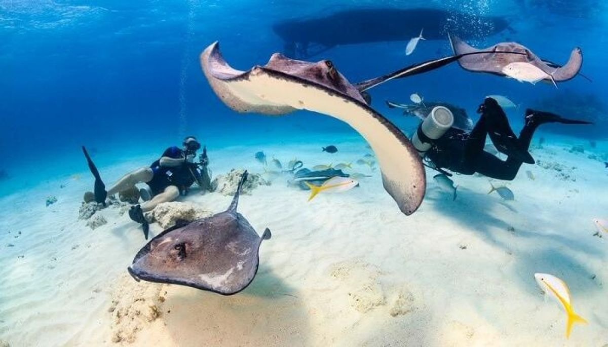 stingrays rays maldives ocean diving
